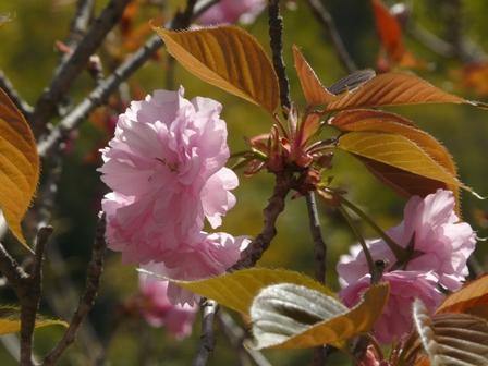 八重桜 関山 1