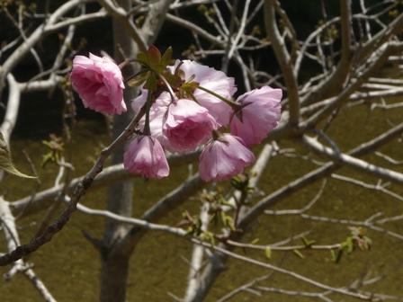 八重桜 関山 2