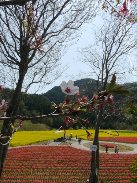 フラワーパークおおず チューリップ&菜の花&桜