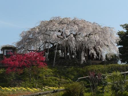 東のしだれ桜 1