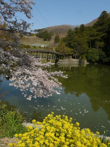 屋根付き橋 弓削神社 4 ソメイヨシノ・菜の花と