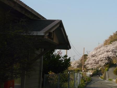 JR下灘駅と桜