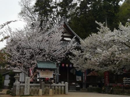 薄墨桜 & 大島桜 1