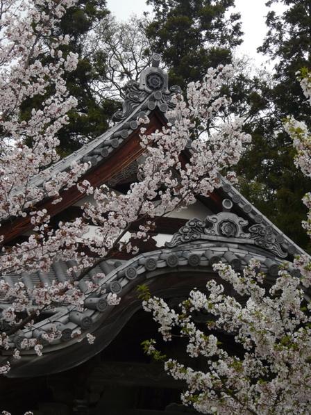 薄墨桜 & 大島桜 2