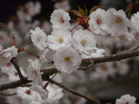 薄墨桜 2