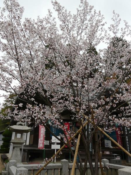 薄墨桜 1