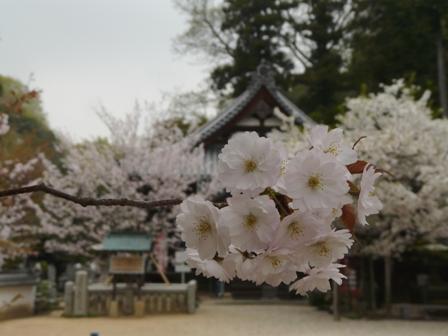 新西法寺桜? 4