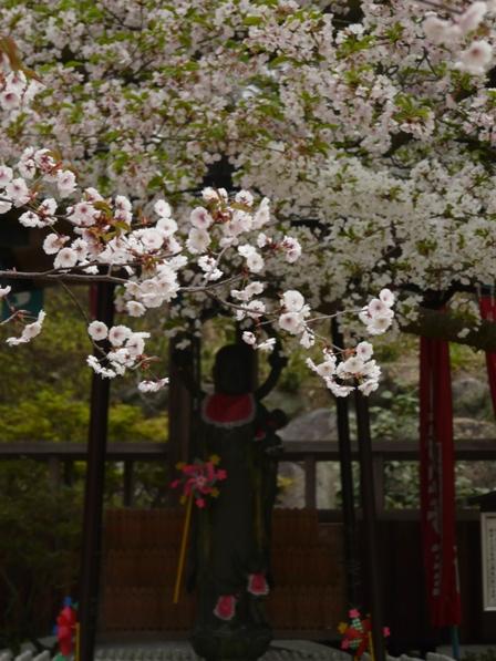 薄墨桜 & 大島桜 3