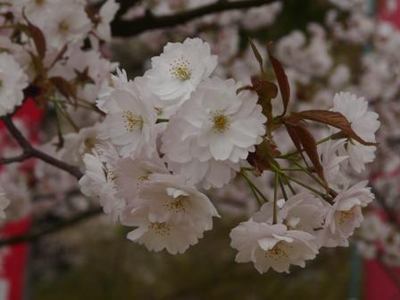 新西法寺桜? 1