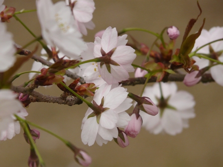新西法寺桜? 2