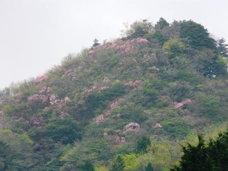 山に咲くアケボノツツジ 2
