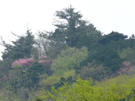 山に咲くアケボノツツジ 3
