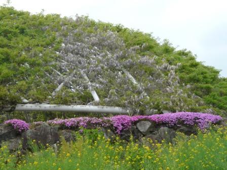 ゆらぎの森 フジ & 芝桜 & 菜の花