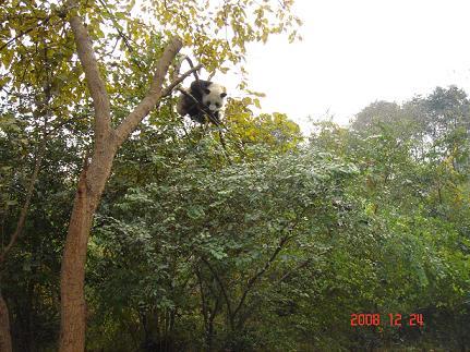木登りパンダの様子