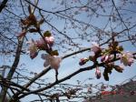 090502 011桜