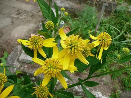 ハチミツ草3
