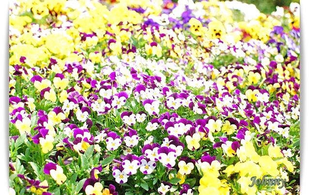 DSC_003220100419flower.jpg