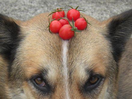 頭にミニトマト