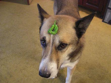 シシトウ犬