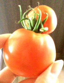tomato_20100218191357.jpg