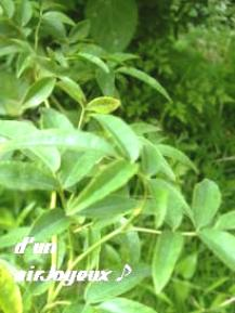 シロモッコウバラ2008盛夏1