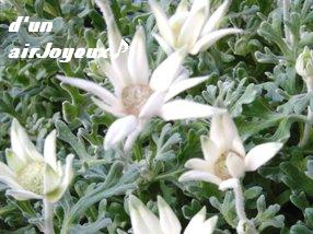 cocogarden-フェアリーホワイト080912-1