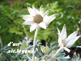 cocogarden-フェアリーホワイト080912-2