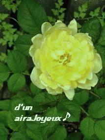 coco-garden-rose20080904-3a