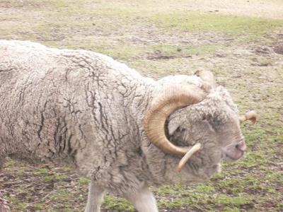 ツノが縦ロールの羊~!