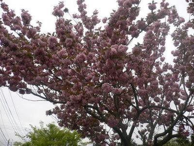 ドッグパークのボタン桜