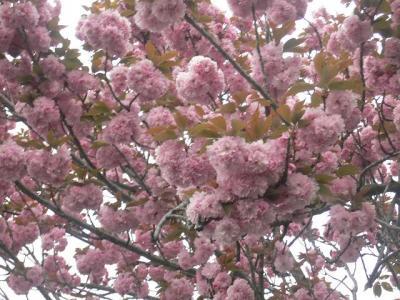 ボタン桜アップ