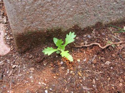 ノースポールの芽