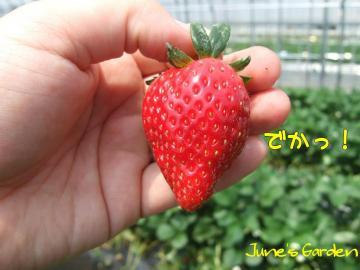 でっかいイチゴ
