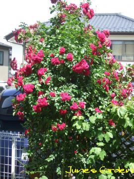 オベリスクのバラ