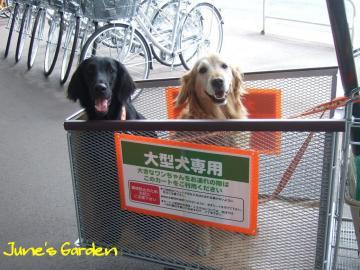 大型犬用カートに乗ってお買いもの♪