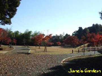 近くの公園もきれいに紅葉していました。