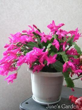 濃いピンクのシャコバ