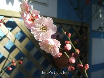 我が家の花梅