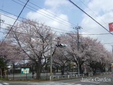 今日の桜はまだ7分咲きぐらい?