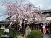 幸兵衛窯桜