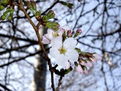 桜1-20100321