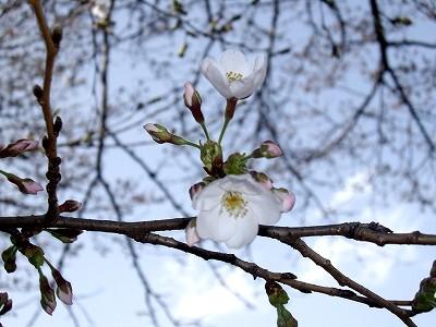 桜2-20100321