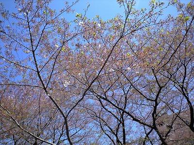 西門の葉桜20100417