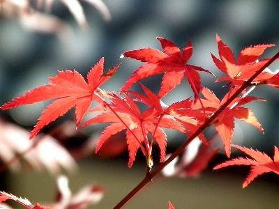 円覚寺境内の紅葉2-20101205