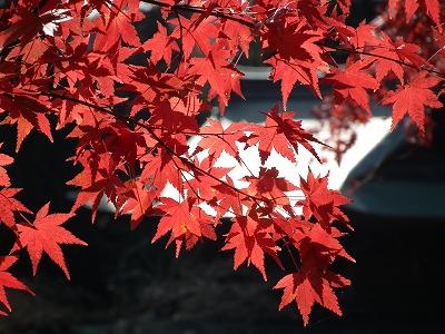 円覚寺境内の紅葉4-20101205