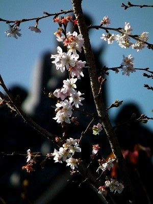 円覚寺境内の寒桜20101205