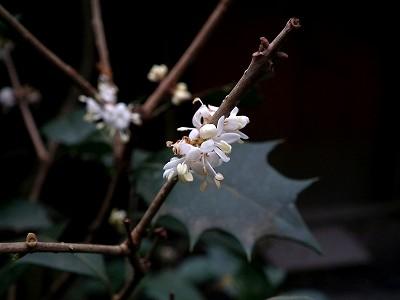 石山寺の柊20101230