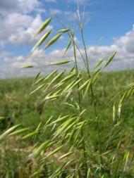 wild oat 2