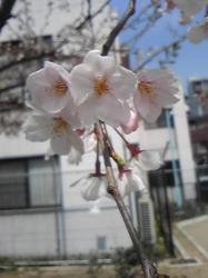 堀江桜4/3