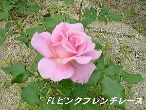 ピンクフレンチレース